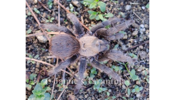 "Aphonopelma hentzi (Texas Brown) 1/4-1/3"" #801b"