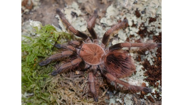 "Pamphobeteus sp. mascara 3"" FEMALE #BF-43"