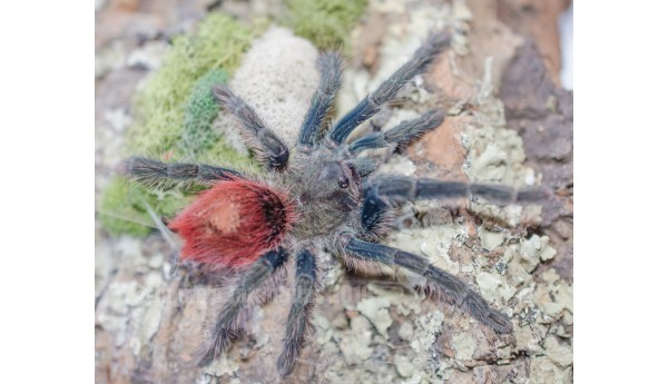 "Thrixopelma ockerti (Flame Rump Tree Spider) 1/2""**"