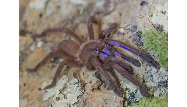 "Chilobrachys Sp. Electric Blue 2 1/2"" FEAMLE #R-7"