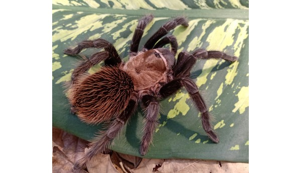 """Aphonopelma sp. Coyuca (Mexican Red & Gold) 1/2""""**"""