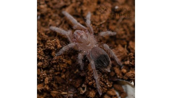"""Eupalaestrus weijenberghi  (White Collar Beauty) 3/4-7/8""""**"""