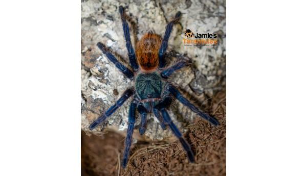 "Chromatopelma cyaneopubescens (Green bottle blue ""GBB"") 2 1/2"" FEMALE #R-592**"