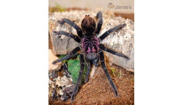 """Xenesthis sp. bright 5"""" MALE & FEMALE (IMMATURE PAIR) *SoCal Pickup only!"""