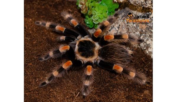 """Brachypelma smithi (form. annitha)  (Mexican Giant Red Knee) FEMALE 4-5""""**"""