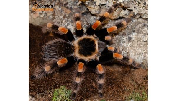 """Brachypelma smithi (form. annitha)  (Mexican Giant Red Knee) 3/4-1"""""""