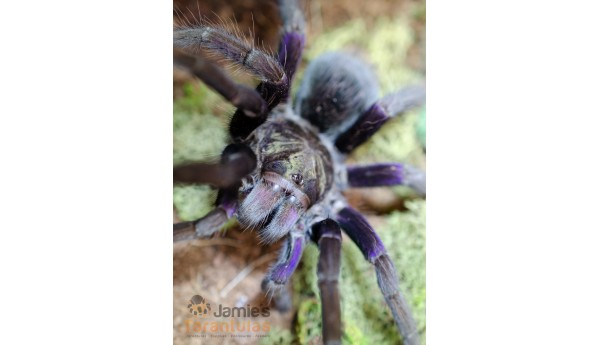 """Pamphobeteus insignis Colombia (Colombian Purple Bloom) 3"""" IMMATURE PAIR / MALE & FEMALE #K-28/29**"""