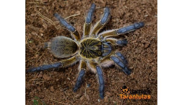 """Harpactira pulchripes (Golden Blue Leg Baboon) 3-3 1/2"""" FEMALE #Q-4**"""