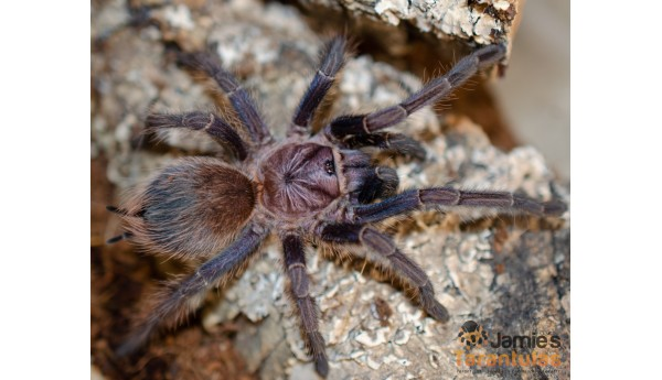 """Phormictopus sp. Salinas 3 1/2"""" FEMALE #K-25""""**"""