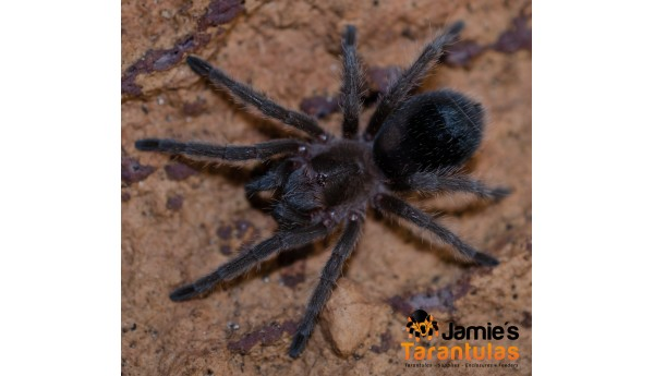 "Grammostola pulchra  /quirogai  (Brazilian black) 1 1/2-1 3/4"" FEMALE #R-588**"