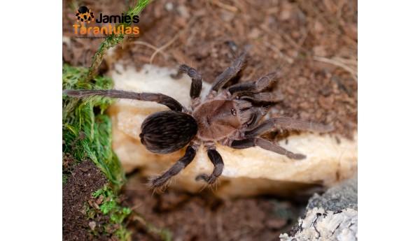 """Crypsidromus sp. Costa Rica (Black emilia) 2 1/2"""" MALE #M-9**"""