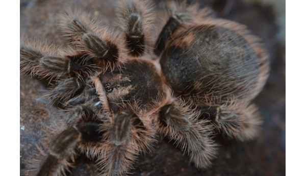 "Special: Brachypelma albopilosum (Curly Hair) 1/2-3/4""  & Terrestrial Spiderling Enclosure"