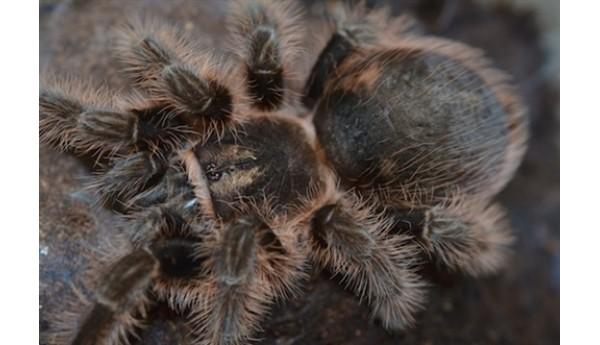 """Special: Brachypelma albopilosum / Tliltocatl albopilosus (Curly hair tarantula) 1/2"""" & Terrestrial Spiderling Enclosure"""