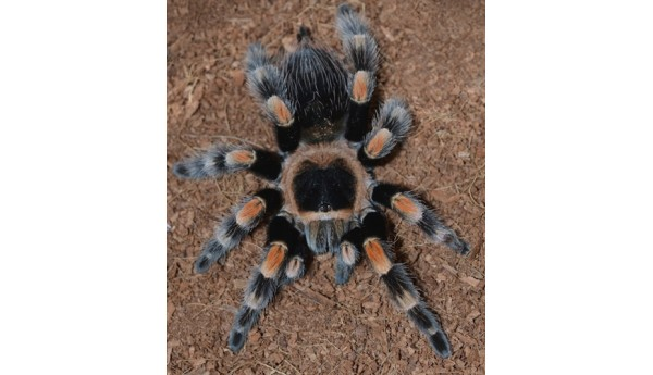 "Brachypelma smithi/hamorii (Mexican Red Knee) 2-2 1/2"" FEMALE"