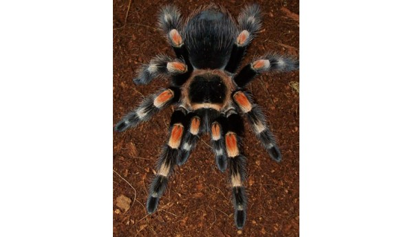 "Brachypelma smithi/hamorii (Mexican Red Knee) 1 1/2-2"" MALE #H-10"