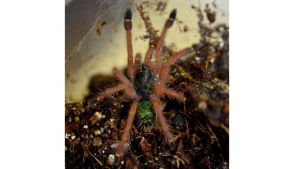 "Ephebopus uatuman (Emerald skeleton) 1/2-3/4"""