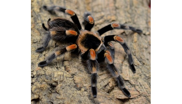 "Brachypelma smithi/hamorii (Mexican Red Knee)  1 1/2-2"" FEMALE #H-11**"