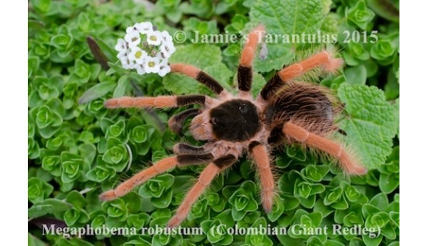 Megaphobema robustum (Columbian Giant Red-leg) 1 1/4-1 3/4""