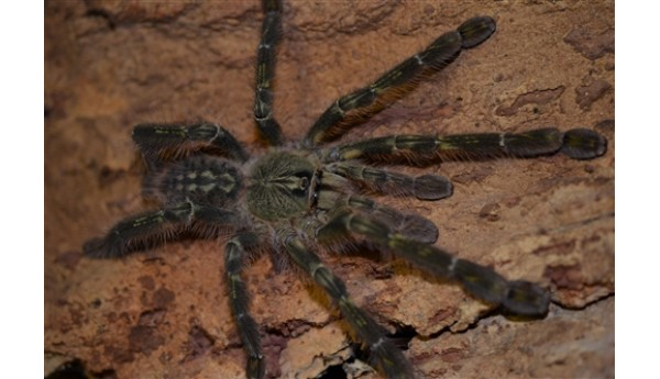 Poecilotheria rufilata (Redslate ornamental) 1""