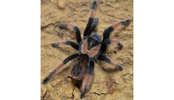 "Brachypelma emilia (Mexican Red Leg) 4-4 1/2"" FEMALE #124"