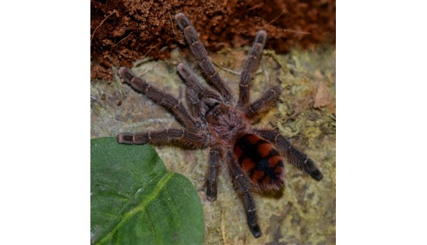 "Special: Avicularia minatrix (Venezuelan Red Slate Pinktoe) 1/2"" #837 & Arboreal Spiderling Kit"