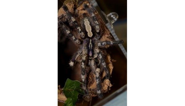 "Poecilotheria formosa (Salem Ornamental) FEMALE 4"" #M-19"