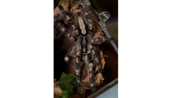 "Poecilotheria formosa (Salem Ornamental) 1""+**"
