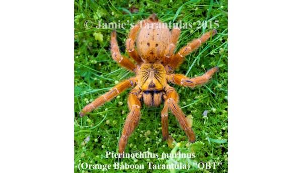 """Pterinochilus murinus (Orange baboon tarantula """"OBT"""") 1/2-3/4"""""""