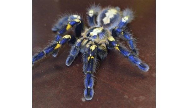 "Special: Poecilotheria metallica (Gooty Sapphire)  1- 1 1/4"" & Terrestrial Spiderling Enclosure Kit"