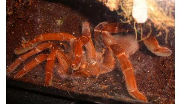 "Special: Pelinobius muticus (King Baboon Tarantula) 3/4"" #603x & Terrestrial Spiderling Enclosure Kit"
