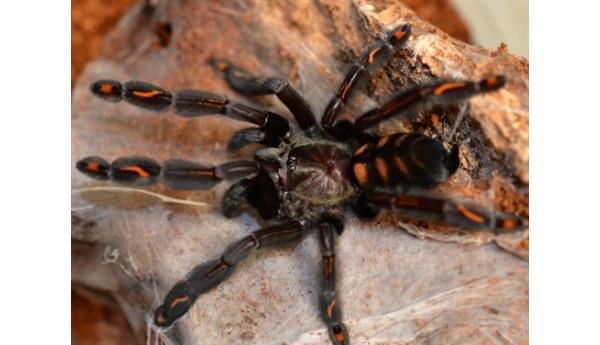 "Special: Psalmopoeus irminia (Venezuelan suntiger)  3/4-1"" & Terrestrial Spiderling Enclosure"