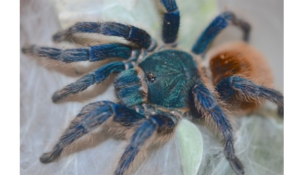 "Chromatopelma cyaneopubescens (Green bottle blue ""GBB"") 3/4-1"" #293"