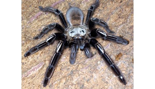 """Ephebopus murinus (Skeleton Tarantula) 3/4"""""""