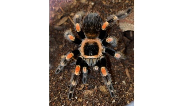 "Brachypelma smithi/hamorii  (Mexican Red Knee) FEMALE 3-3 1/2"" #A-12**"