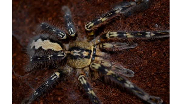 "Special: Poecilotheria ornata (Fringed ornamental) 3/4-1"" #802b & Terrestrial Spiderling Enclosure Kit"
