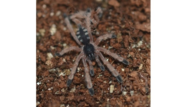 """Pseudoclamoris/ Tapinauchenius gigas (Orange Tree Spider) 3/4-1"""" **"""