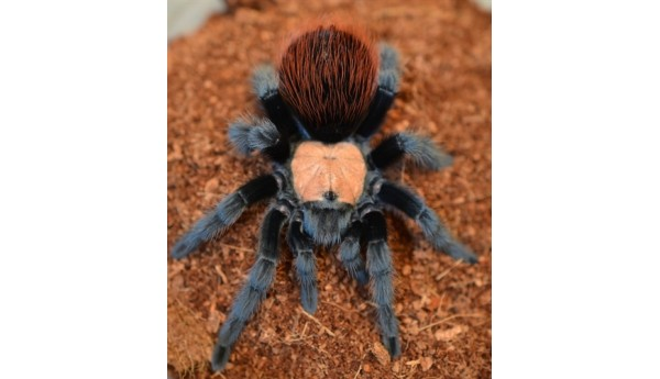 Brachypelma albiceps (Mexican Golden Red-Rump) 1/3""