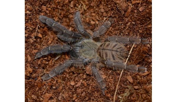 "Cyriopagopus schioedtei (Maylasian Earth-tiger) 1-1 1/4"""