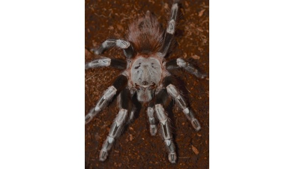 "Nhandu chromatus (Brazilian White Striped Birdeater) 1 1/2-2"" suspect MALE #275"