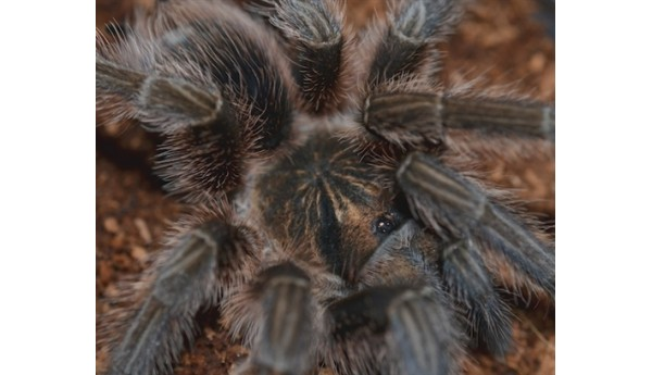 "Phormictopus cancerides (Hispaniolan Giant) 3-3 1/2"" MALE #103J"