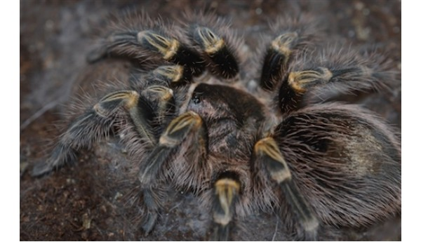 "Grammostola pulchripes (Chaco Golden Knee) 3/4"" + #2018"