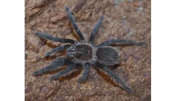 "Brachypelma albopilosum (Curlyhair tarantula) 3""+ MALE #422"