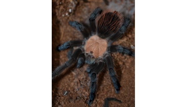 "Brachypelma albiceps (Mexican Golden Red-Rump) 3 1/2"" MALE"