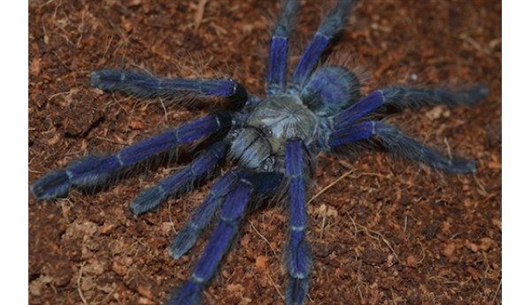 Lampropelma violaceopes (Singapore blue) 1""