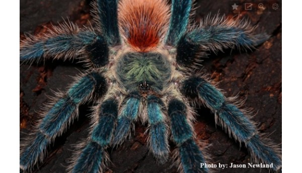 "Oligoxystre diamantinensis (Brazilian Blue Dwarf Beauty) 1/2-3/4"" #133"