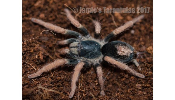 "Kochiana brunnipes (Brazilian Dwarf Beauty) 1 1/2-2"" FEMALE #M-4"