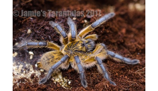 "Harpactira pulchripes (Golden Blue Leg Baboon) 2 1/2-3"" FEMALE #J-1"