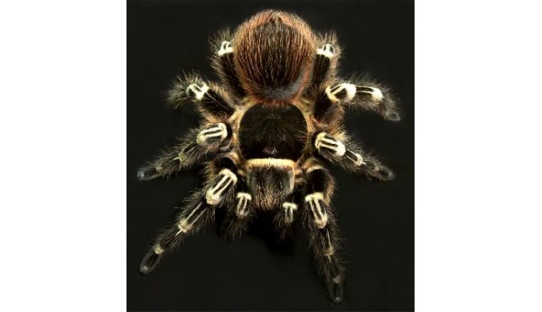 "Special: A. geniculata (Brazilian giant white-knee) 3/4""+ & Terrestrial Spiderling Enclosure"