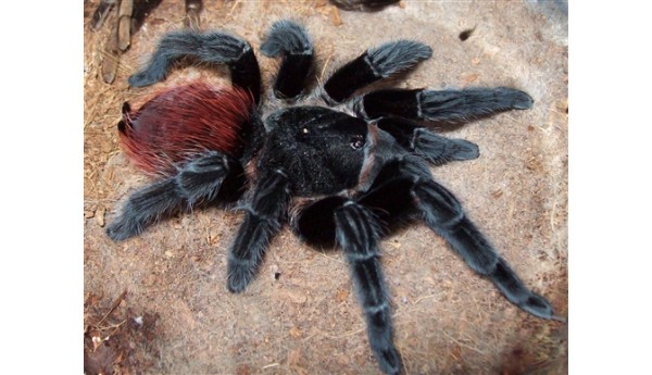 """Special: Brachypelma vagans / Tliltocatl vagans (Mexican Red Rump) 1/2"""" & Terrestrial Spiderling Enclosure"""