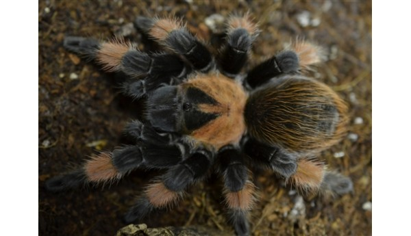 "Brachypelma emilia (Mexican Red Leg) 3-3 1/2"" MALE #N-17"